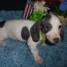 Lulu's 2nd Short Haired AKC Registered, Extreme Blue and Tan Piebald Male is Sold to Scott.