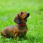 Dacshund Breed