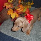 Gracie's 1st Short Haired AKC and CKC Isabella and Tan Female is Sold to Annamarie.