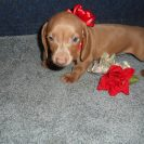Gracie's Short Haired AKC and CKC Registered Gold Isabella and Tan Female is Sold to Iven.