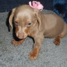 Gracie's 2nd Short Haired AKC and CKC Registered Isabella and Tan Female is Sold to Patti.