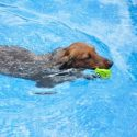 Advice on Swimming with Dachshunds