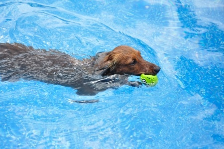 Swimming Dachshunds