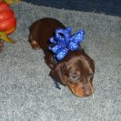 Windy's AKC and CKC Registered, Short Haired Chocolate and Tan Male is Sold to Debbie.