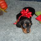 Windy's AKC and CKC Registered Black and Tan Female is Sold to Perrin.