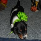 Windy's AKC and CKC Registered, Short Haired Black and Tan Piebald is Tiffany and Justin.