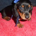 How to Puppy-Proof Your Home for Your New Mini Dachshund