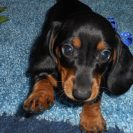 Windy's AKC and CKC Registered, Short Haired Black and Tan Male is Sold to Connie.