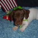 Carlie's Short Haired AKC and CKC Registered Extreme Chocolate and Tan Piebald Male is Sold to Kay.