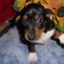 Carlie's Short Haired AKC  Black and Tan Piebald Female, with Full Breeding Rights, is Sold to Cosandra.