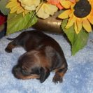 Willow's Short Haired, AKC and CKC Registered, Red Sable Female is Sold to Kim.