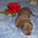 Willow's 1st Short Haired, AKC and CKC Registered, Red Male with Blue Highlights is Sold to Joey.