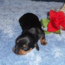 Willow's Short Haired, AKC and CKC Registered, Black and Tan Female is Sold to Lynn.
