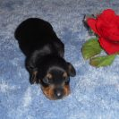 Willow's Short Haired, AKC and CKC Registered, Black and Tan Male is sold to Gene and Louise.
