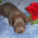 Willow's 2nd Short Haired, AKC and CKC Registered, Red Male with Blue Highlights is $700.