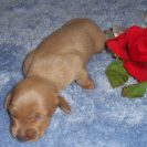 Willow's Short Haired, AKC and CKC Registered, Gold Isabella Male is $950.