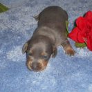 Willow's Short Haired, AKC and CKC Registered, Blue and Tan Male is Sold to Desirae.