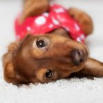 Caring for Your Dachshund