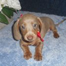 Laura's 2nd Short Haired AKC and CKC Registered Isabella and Tan Female is $950.