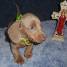 Laura's 2nd Short Haired AKC and CKC Registered Isabella and Tan Male is Sold to Holly.