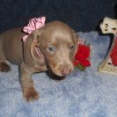 Laura's 1st Short Haired AKC and CKC Registered Isabella and Tan Female is Sold to Rufus.