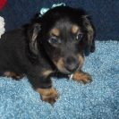 Lola's 1st Longhair AKC Registered Black and Tan Male is Sold to Harvi.