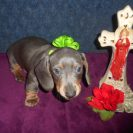 Lulu's Short Haired AKC and CKC Registered, Blue and Tan Male is Sold to Shane.