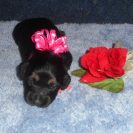 Lola's 2nd Longhair AKC Black and Tan Female is Sold to Mary Kate.