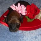 Lola's Longhair AKC Registered Red Sable Female is Sold to Renee'.