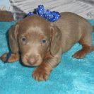 Katy Belle's Soft Wirehair AKC & CKC Registered Isabella and Tan Male is Sold to Lara.