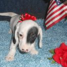 Carlie's Short Haired AKC Extreme Black and Tan Piebald Female is Sold to Jody & Robert.