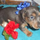 Katy Belle's Soft Wirehair AKC & CKC Registered Blue and Tan Male is Sold to Karen and Steve.