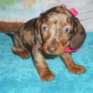 Katy Belle's AKC & CKC Registered Chocolate and Tan Dapple is Sold to Patti.