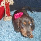 Katy Belle's Soft Wirehair AKC & CKC Registered Blue and Tan Female is Sold to Karen and Steve.