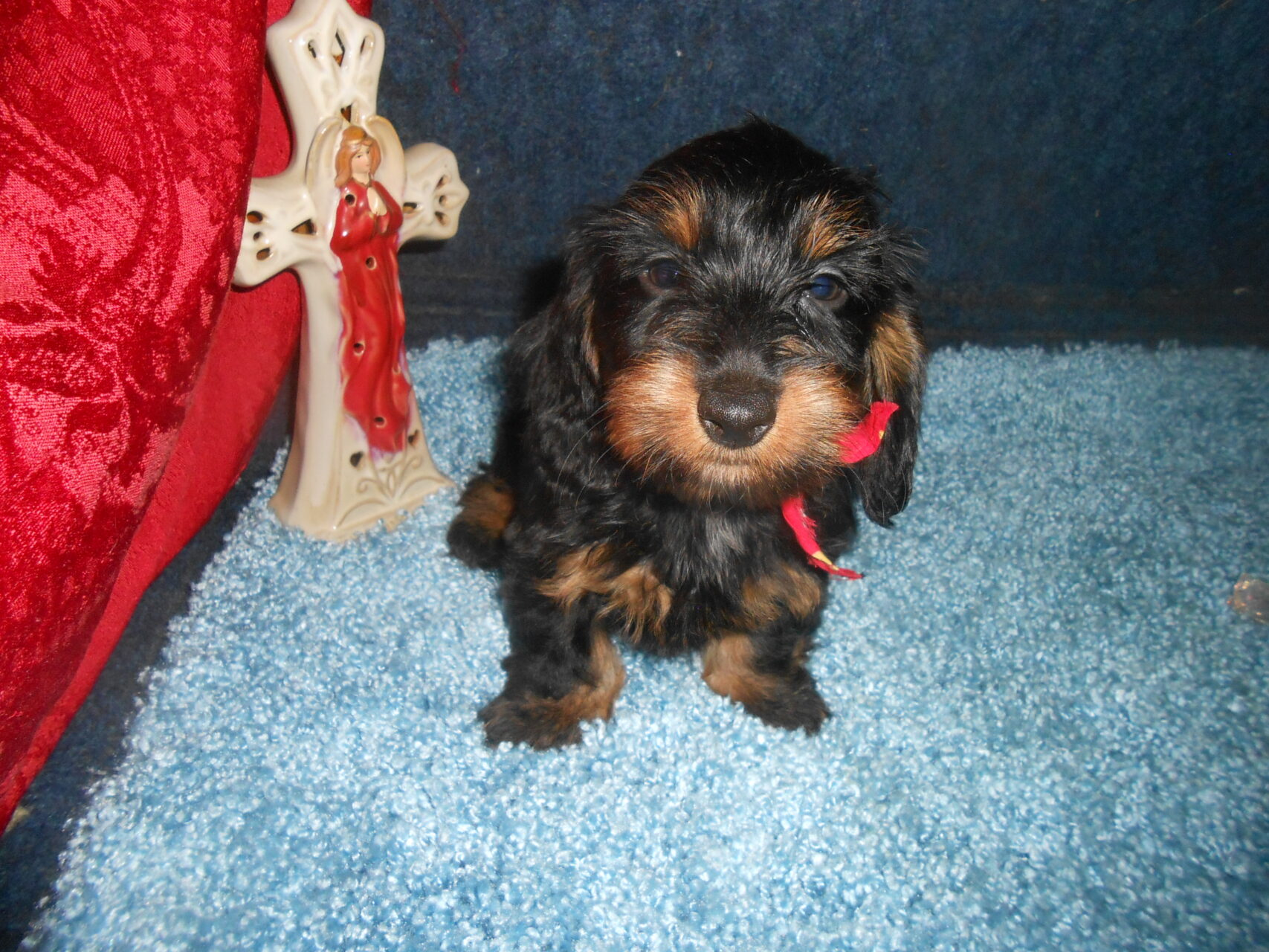 Katy Belle's Soft Wirehair AKC & CKC Registered Black and Tan Female is Sold to Jerry.