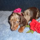 Katy Belle's AKC & CKC Registered Isabella and Tan Dapple is Sold to Patti.