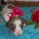 Carlie's Short Haired AKC & CKC Extreme Isabella and Tan Piebald Female is Sold to Tessie.