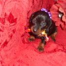 Jenny's 2nd Short Haired AKC & CKC Registered Black and Tan Female is Sold to Jeanette.