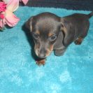 Jewels 1st Short Haired AKC & CKC Registered Blue and Tan Female is Sold to Annamarie.