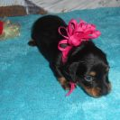 Magnolia's Longhair AKC & CKC Registered Black and Tan Female is Sold to Jeanette.