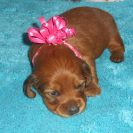 Magnolia's Longhair AKC and CKC Registered Shaded Red Female is Sold to Joanna.