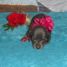 Jewels 2nd Short Haired AKC & CKC Blue and Tan Female is Sold to Angelica.