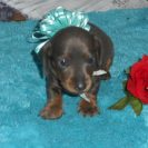 Jewels little Short Haired AKC & CKC Blue and Tan Male is Sold to Billy.