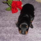 Magnolia's Longhair AKC and CKC Registered Black and Tan Male is Sold to Maria.