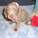 Sonya's AKC & CKC Registered Short Haired Isabella and Tan Female is Sold to Steve.
