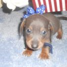 Sonya's 1st AKC & CKC Registered Short Haired Blue and Tan Male is Sold to Teresa.