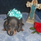 Sonya's 2nd AKC & CKC Registered Short Haired Blue and Tan Male is Sold to Jerry.