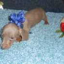 Sonya's 3rd AKC & CKC Registered Short Haired Isabella and tan Male is Sold to Michael.
