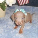 Sonya's 1st AKC & CKC Registered Short Haired Isabella and Tan Male is Sold to Angelica.