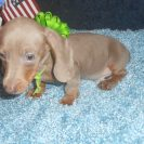 Sonya's 2nd AKC & CKC Registered Short Haired Isabella and Tan Male is Judy.